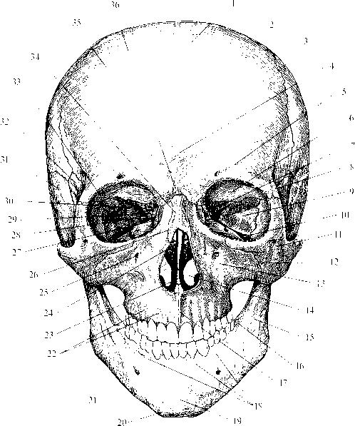 img1 23 носовая часть (pars nasalis)