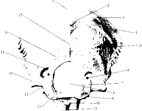 img1 33 затылочная кость
