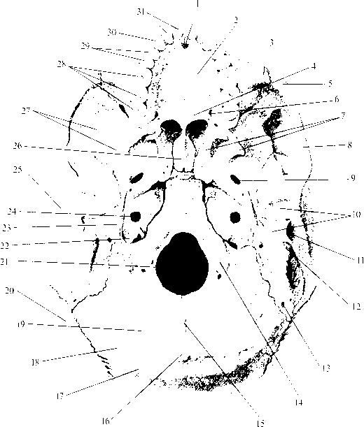 img2 35 внутреннее основание черепа (basis cranii interna)