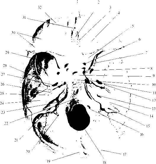 img2 36 внутреннее основание черепа (basis cranii interna)