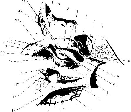 img2 46 верхний носовой ход (meatus nasalis superior)