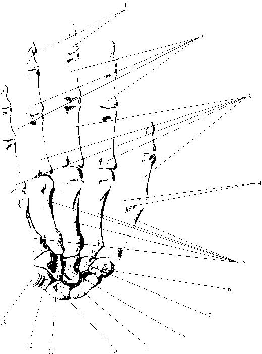 img2 58 скелет запястья (ossa carpi)