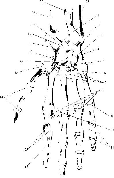 img2 77 среднезапястный сустав (art. mediocarpalis)