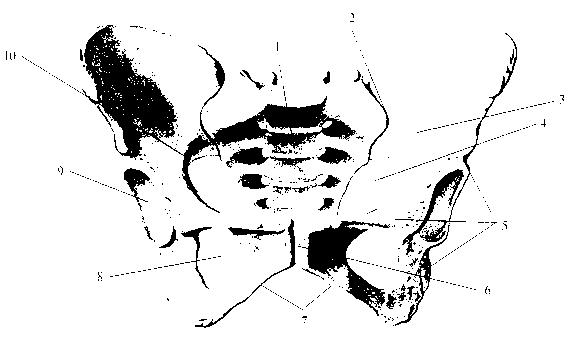 img2 80 таз (pelvis)