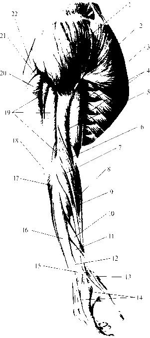 передней области шеи