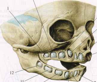 scan2 21 Прорезывание зубов