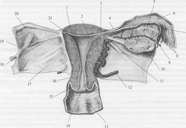 scan2 25 Женские половые органы