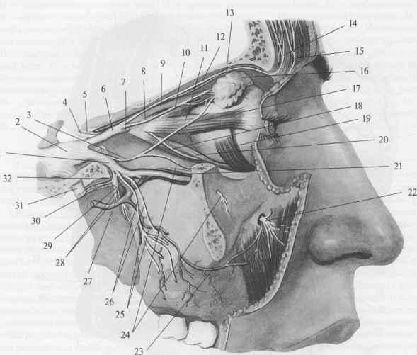 scan2 35 Тройничный нерв